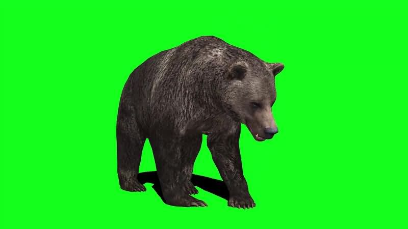 绿幕视频素材黑熊