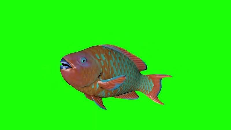 绿幕视频素材石斑鱼