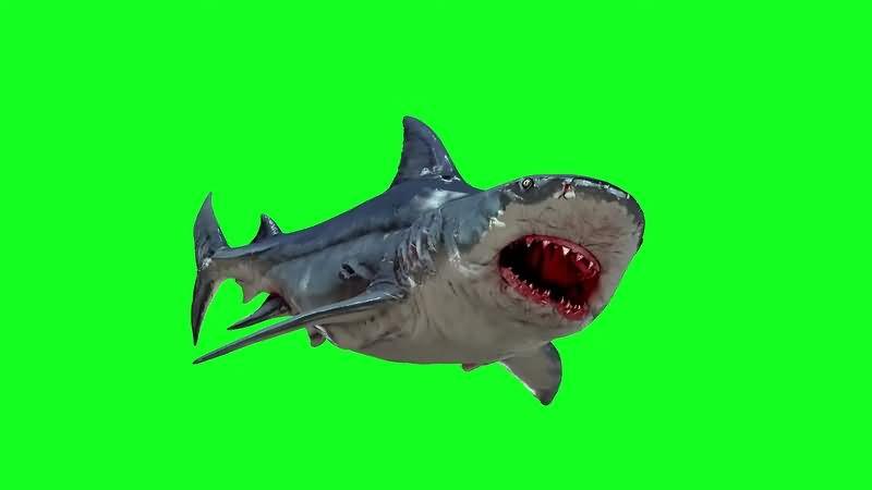 绿幕视频素材大白鲨