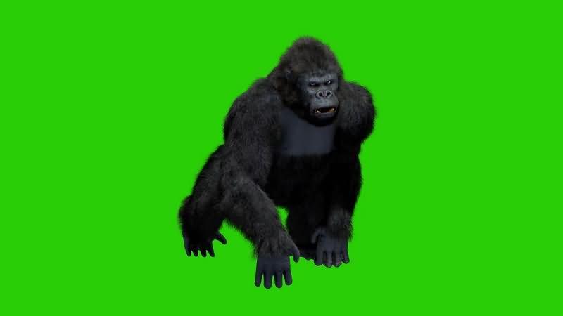 绿幕视频素材黑猩猩