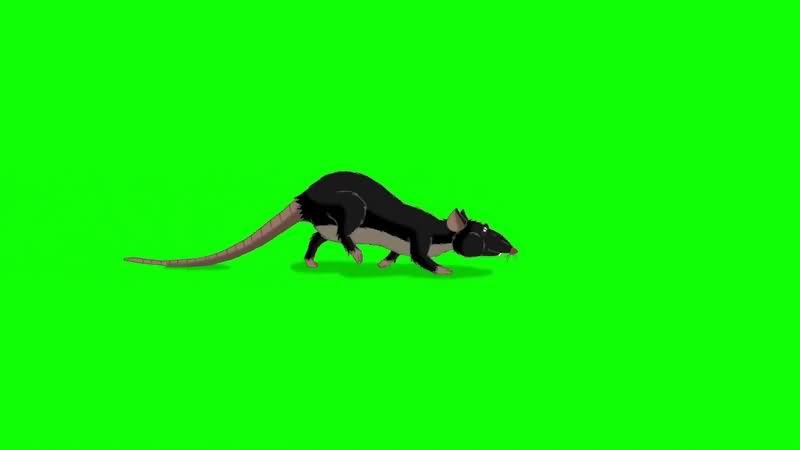 绿幕视频素材老鼠.jpg