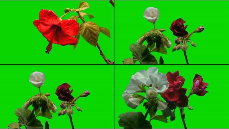 绿幕视频素材鲜花