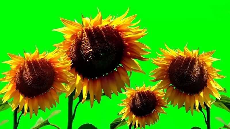 绿幕视频素材向日葵