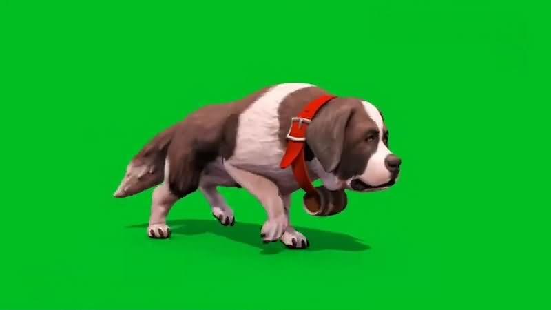 绿幕视频素材圣伯纳犬