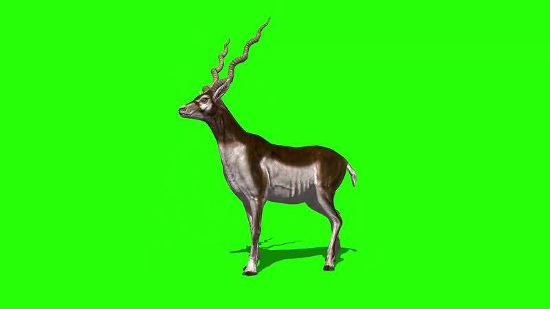绿幕视频素材公鹿