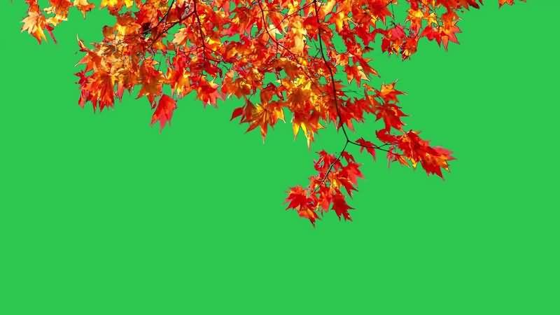 绿幕视频素材枫叶