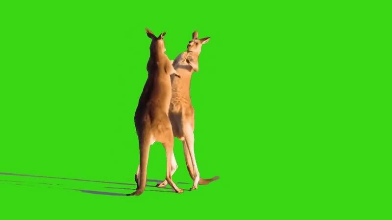 绿幕视频素材袋鼠