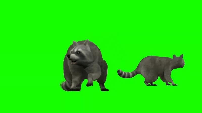 绿幕视频素材浣熊