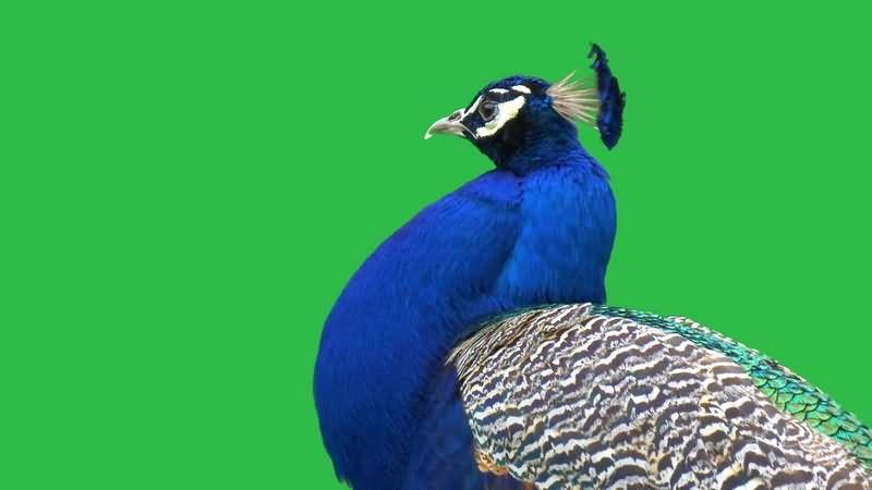 绿幕视频素材孔雀