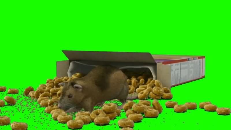 绿幕视频素材老鼠