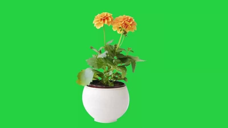 绿幕视频素材花盆