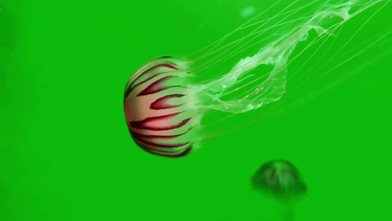 绿幕视频素材水母