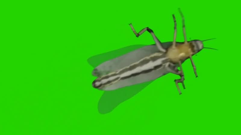 绿幕视频素材蝗虫