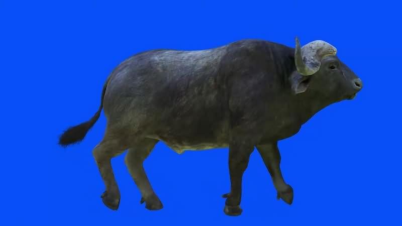 绿幕视频素材水牛
