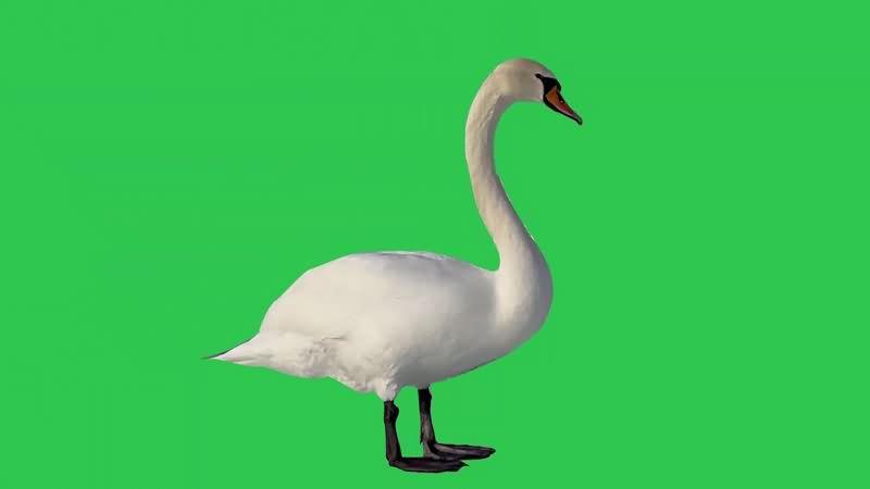 绿幕视频素材天鹅