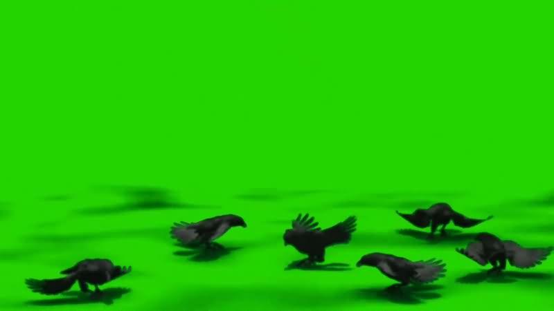 绿幕视频素材乌鸦.jpg