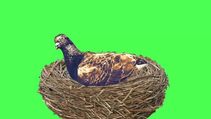 绿幕视频素材鸽子窝